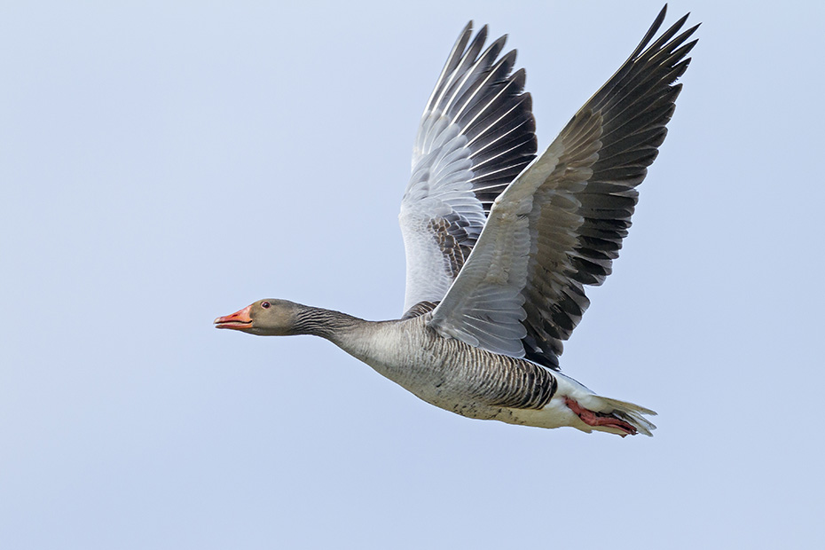 Graugaense gehoeren zu den haeufigsten Wasservoegeln in Deutschland  -  (Foto Grauganspaar im Flug), Anser anser, Greylag Goose is a widespread and common waterfowl in Germany  -  (Graylag - Photo Greylag Goose pair in flight)
