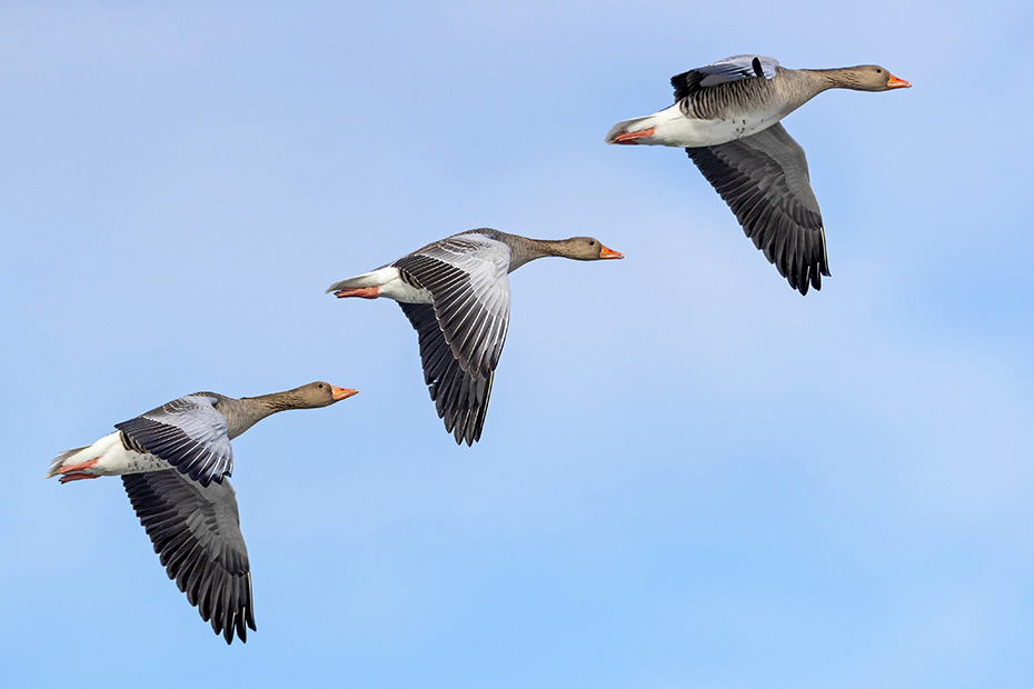 Graugans, die Maennchen sind generell etwas groesser als die Weibchen  -  (Foto Graugans im Flug), Anser anser, Greylag Goose, the males are larger than the females  -  (Graylag - Photo Greylag Goose in flight)
