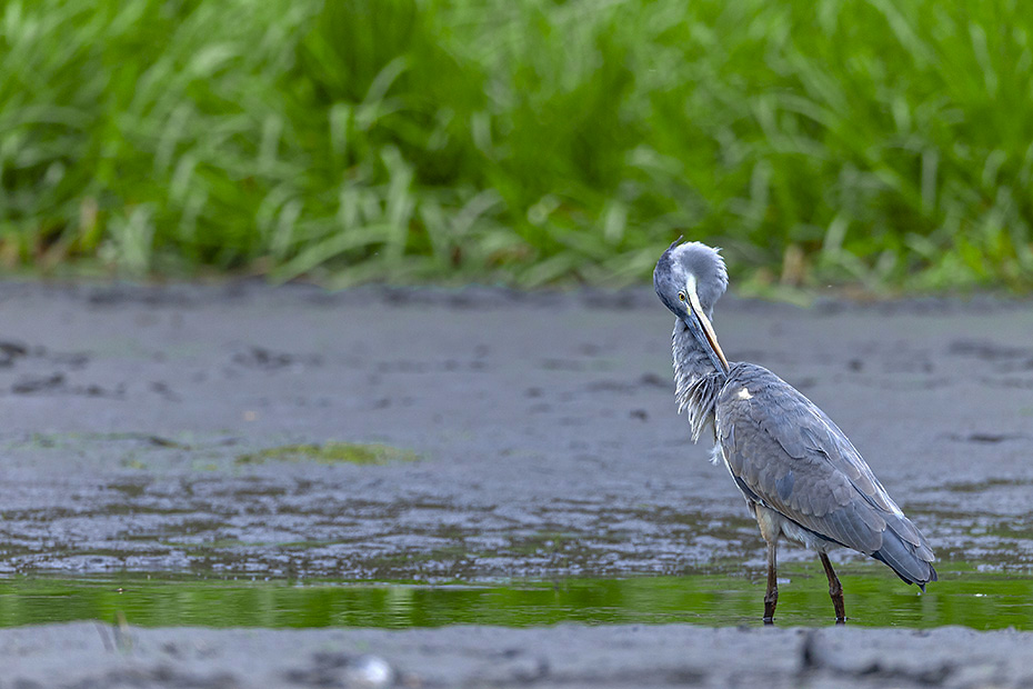 Graureiher, fuer einen in freier Wildbahn lebenden Vogel ist ein Alter von 23 Jahren dokumentiert  -  (Fischreiher - Foto Graureiher Altvogel im Ruhekleid), Ardea cinerea, Grey Heron, the maximum recorded lifespan in the wild is 23 years  -  (Gray Heron - Photo Grey Heron adult bird in basic plumage)
