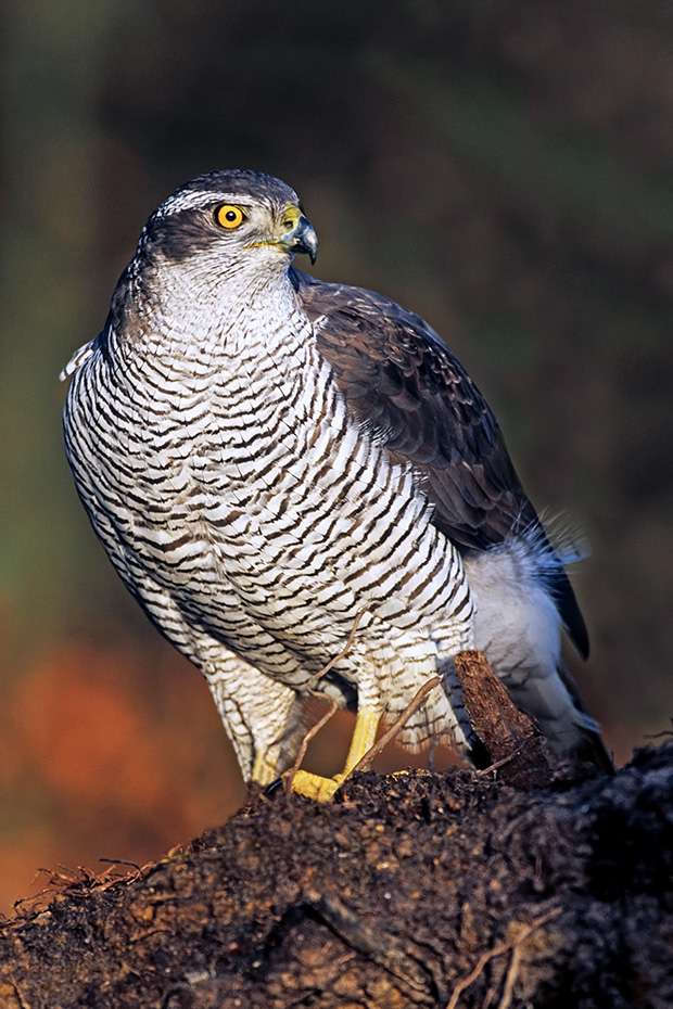 Habichte erreichen eine Koerperlaenge von 46 - 63 cm  -  (Huehnerhabicht - Foto Habicht Weibchen), Accipiter gentilis, Northern Goshawk has a length of 46 to 63 cm  -  (Goshawk - Photo Northern Goshawk female)