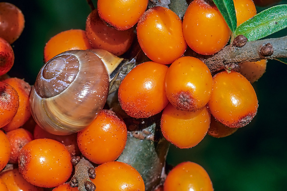 Hain-Baenderschnecken gehoeren zu den haeufigsten Landschneckenarten Europas  -  (Schwarzmuendige Hainbaenderschnecke - Foto Hain-Baenderschnecke zwischen Sanddornbeeren), Cepaea nemoralis  -  Hippophae rhamnoides, Grove Snail is one of the most common species of land snail in Europe  -  (Brown-lipped Snail - Photo Grove Snail between Sea Buckthorn berries)