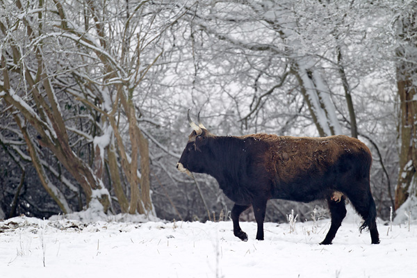 Heckrind - (Kuh) - (Auerochse - Rueckzuechtung), Bos taurus primigenius, Heck Cattle - (Cow) - (Aurochs - breed back)