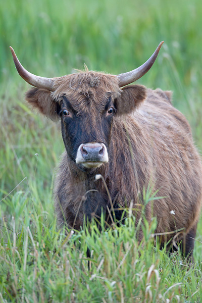 Heckrind - (Kuh) - (Auerochse - Rueckzuechtung), Bos primigenius, Heck Cattle - (Cow) - (Aurochs - breed back)