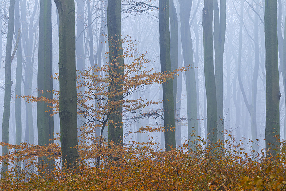 Rotbuchenwald im Herbst, Naturpark Westensee  -  Schleswig-Holstein, Common Beech forest in fall