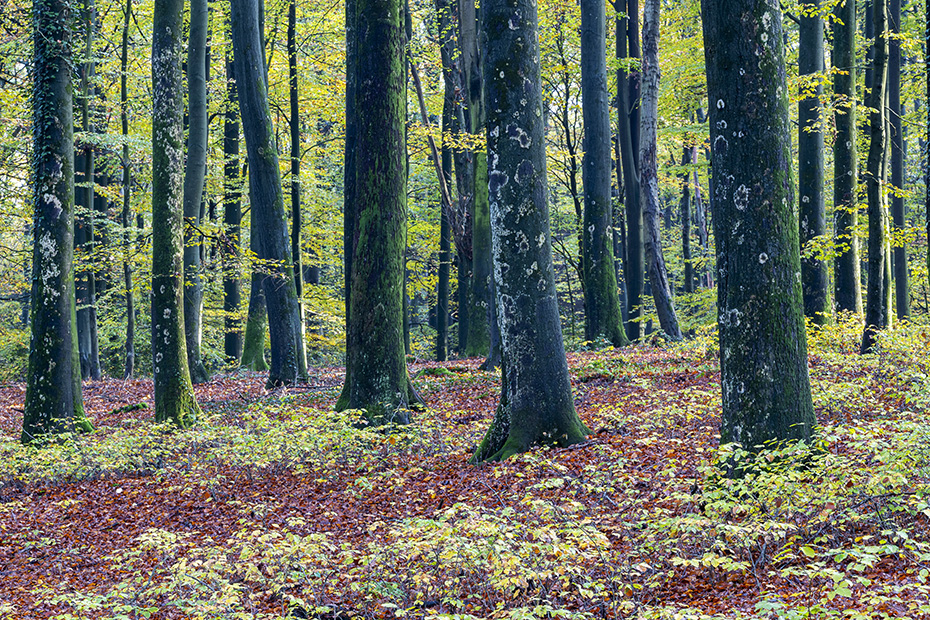 Rotbuchenwald im Herbst, Itzehoe  -  Schleswig-Holstein, Common Beech forest in fall