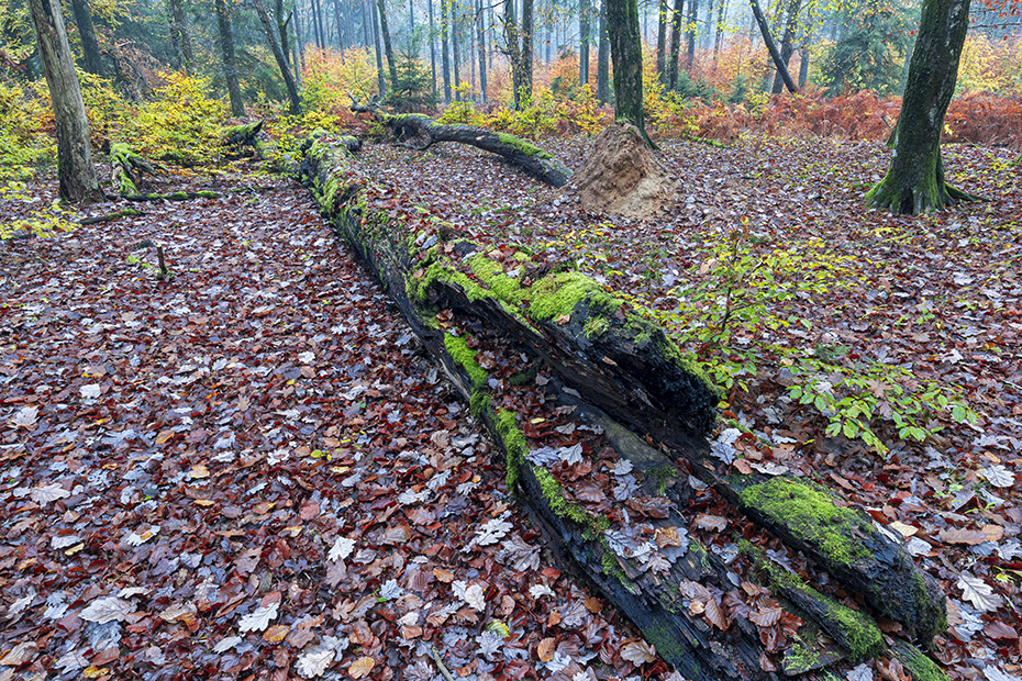 Abgestorbene, umgestuerzte Baeume schaffen Platz fuer neues Leben am Waldboden, Schierenwald  -  Kreis Steinburg, Dead, fallen trees create space for new life on the forest floor