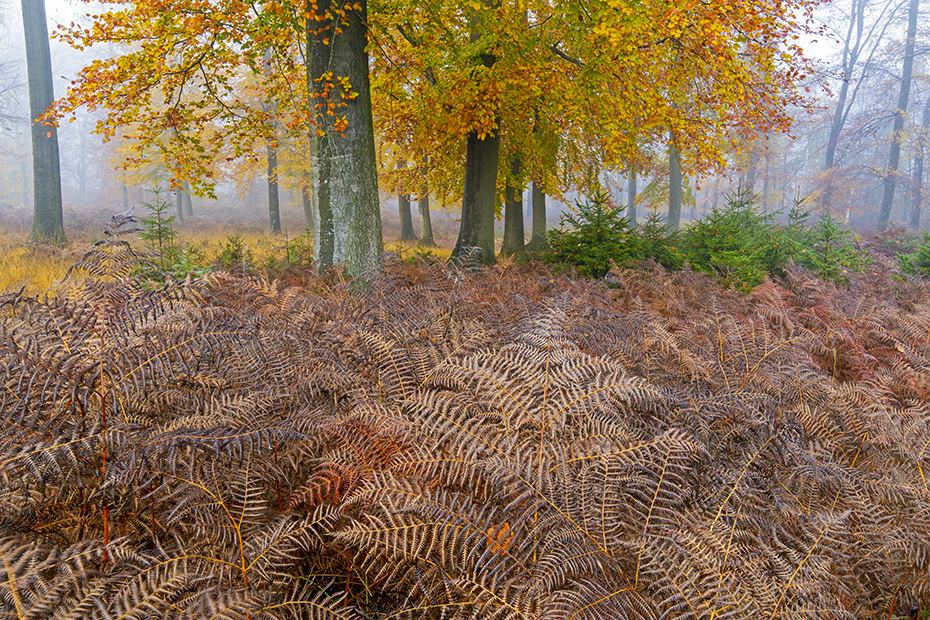 Noch steht der Adlerfarn aufrecht im Rotbuchenwald, in wenigen Wochen werden Zersetzung und Wind den Farn zu Boden zwingen, Naturpark Westensee  -  Schleswig-Holstein, The Bracken still stands upright in the Common Beech forest, in a few weeks decomposition and wind will force the fern to the ground