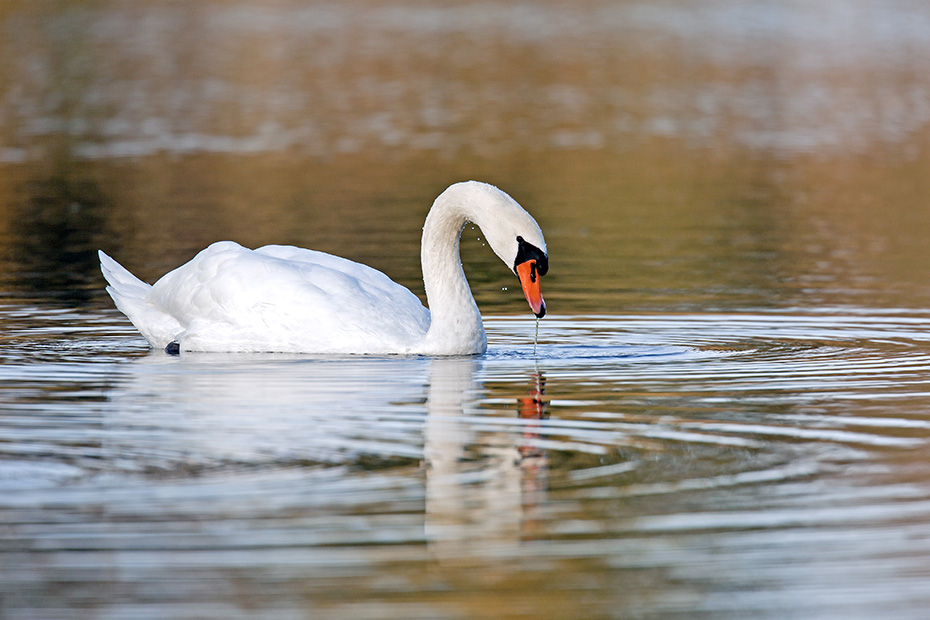 Hoeckerschwan, der namensgebende Schnabelhoecker ist bei den Maennchen groesser als bei den Weibchen  -  (Foto Maennchen), Cygnus olor, Mute Swan, the knob atop the beak is larger in males  -  (Photo cob)