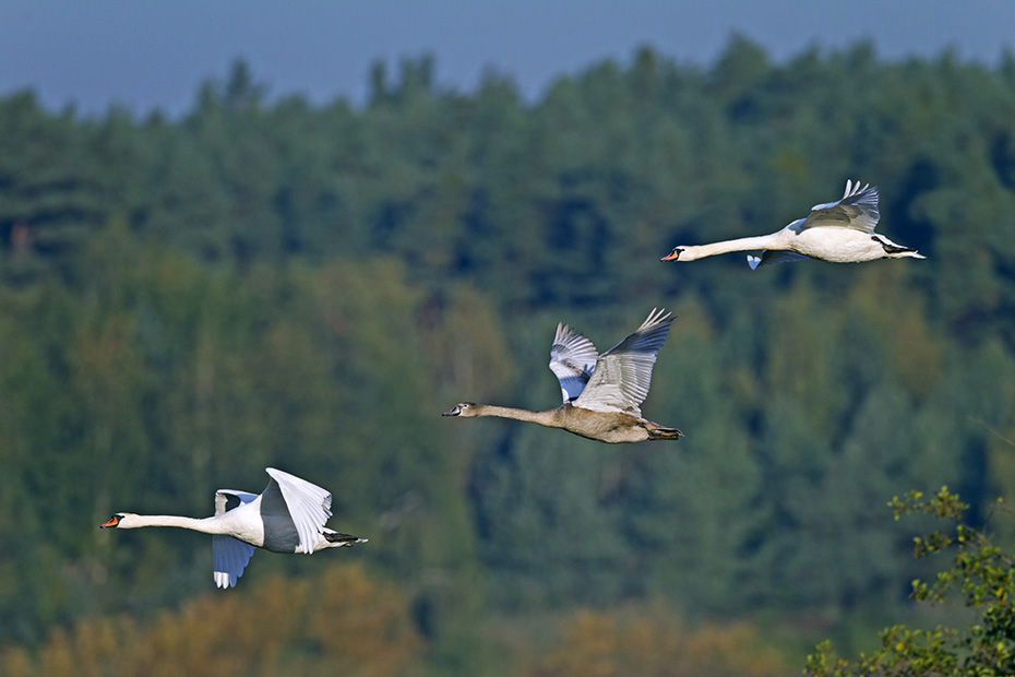 Hoeckerschwan, nach einer Brutzeit von 36 Tagen schluepfen die Jungvoegel  -  (Foto Hoeckerschwaene im Morgendunst), Cygnus olor, Mute Swan, the chicks hatch after 36 days  -  (Photo Mute Swans in morning dust)