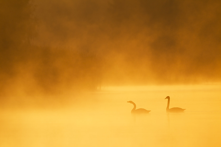 Hoeckerschwan, die Jungvoegel sind nach 120 - 150 Tagen flugfaehig  -  (Foto Hoeckerschwaene im Morgendunst), Cygnus olor, Mute Swan, the cygnets can fly at an age of 120 to 150 days  -  (Photo Mute Swans in morning dust)