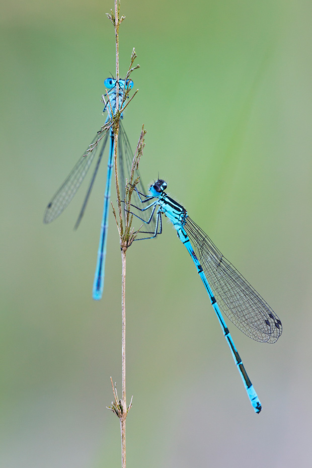 Hufeisen-Azurjungfer, die Nymphen schluepfen in Zentraleuropa nach einem Jahr  -  (Foto Maennchen mit Milbenbefall und Gregarinen), Coenagrion puella, Azure Damselfly, the nymphs develop in one year in Central Europe  -  (Photo male with mite infestation)