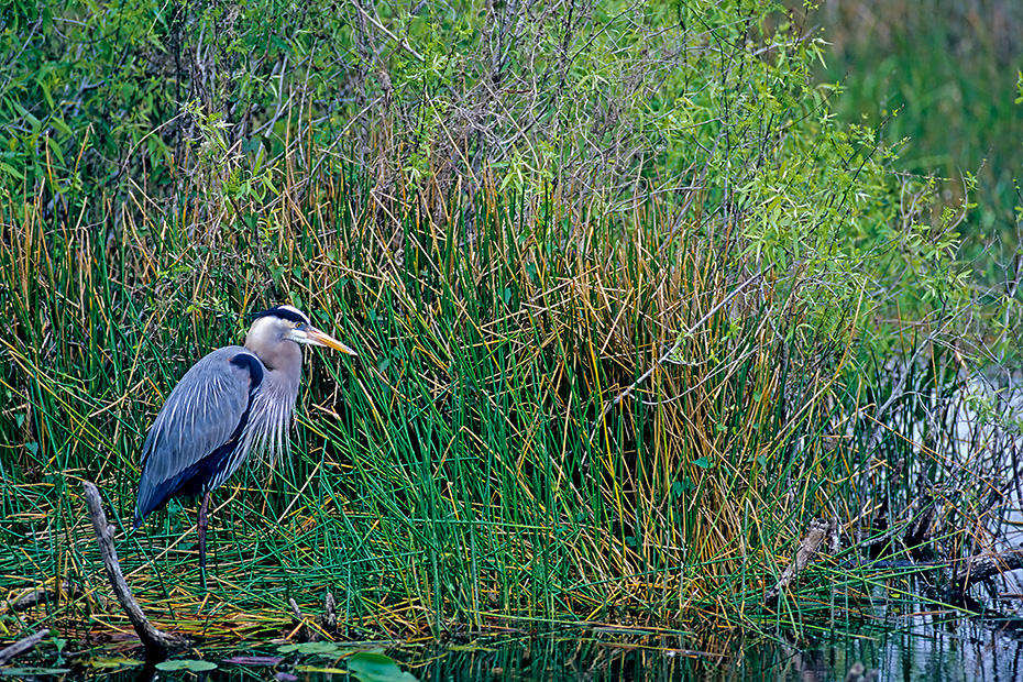 Kanadareiher sind die groessten Reiher Nordamerikas  -  (Foto Kanadareiher auf einer Palme), Ardea herodias, Great Blue Heron is the largest North American heron species  -  (Photo Great Blue Heron juvenile bird)