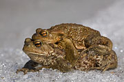 Thumbnail of the category Amphibians