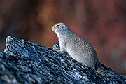 Thumbnail of the category Arctic Ground Squirrel