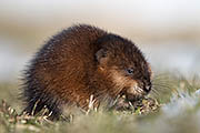 Thumbnail of the category Muskrat / Ondatra zibethicus