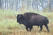 Thumbnail of the category American Bison / American Buffalo