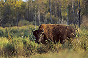 Thumbnail of the category Wood Bison / Mountain Bison
