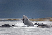 Thumbnail of the category Humpback Whale