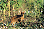 Thumbnail of the category Chinese Muntjak / Barking Deer