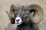 Thumbnail of the category Bighorn Sheep / Ovis canadensis