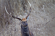 Thumbnail of the category Manchurian Sika Deer