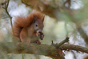 Thumbnail of the category Red Squirrel / Eurasian Red Squirrel
