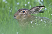 Thumbnail of the category Brown Hare / European Hare