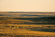 Thumbnail of the category Pronghorn/Pronghorn Antelope/Cabri