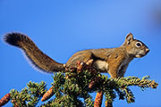 Thumbnail of the category American Red Squirrel / Chickaree