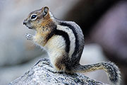 Thumbnail of the category Golden-mantled Ground Squirrel