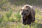 Thumbnail of the category Grizzly Bear / Ursus arctos horribilis