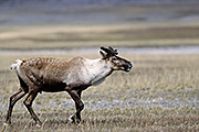 Thumbnail of the category Caribou / Woodland Caribou