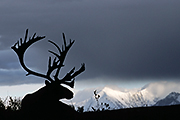 Thumbnail of the category Porcupine Caribou / Grants Caribou