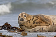 Thumbnail of the category Grey Seal/Gray Seal/Horsehead Seal