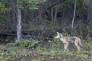 Thumbnail of the category Coyote / Canis latrans