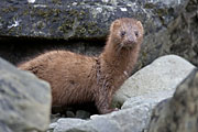 Thumbnail of the category American Mink / Neovison vison