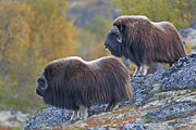Thumbnail of the category Musk Ox / Muskox / Ovibos moschatus