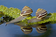 Thumbnail of the category Mussels-Bivalves and Snails-Slugs