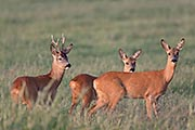 Thumbnail of the category Roe Deer / Capreolus capreolus