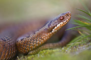 Thumbnail of the category Reptile