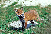 Thumbnail of the category Red Fox / Vulpes vulpes