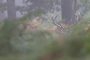 Thumbnail of the category Red Deer / Cervus elaphus