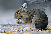 Thumbnail of the category Snowshoe Hare / Lepus americanus