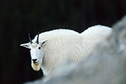 Thumbnail of the category Mountain Goat / Rocky Mountain Goat