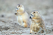 Thumbnail of the category Black-tailed Prairie Dog