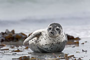 Thumbnail of the category Harbour Seal / Harbor Seal