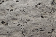 Thumbnail of the category Animal tracks and other signs