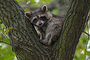 Thumbnail of the category Raccoon / Coon / Common Raccoon