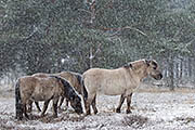 Thumbnail of the category Wild Horses - News