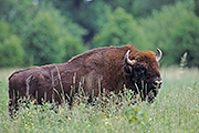 Thumbnail of the category European Bison / Wisent
